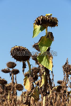ripened, sunflowers, ready, for, harvesting, for - 28259767