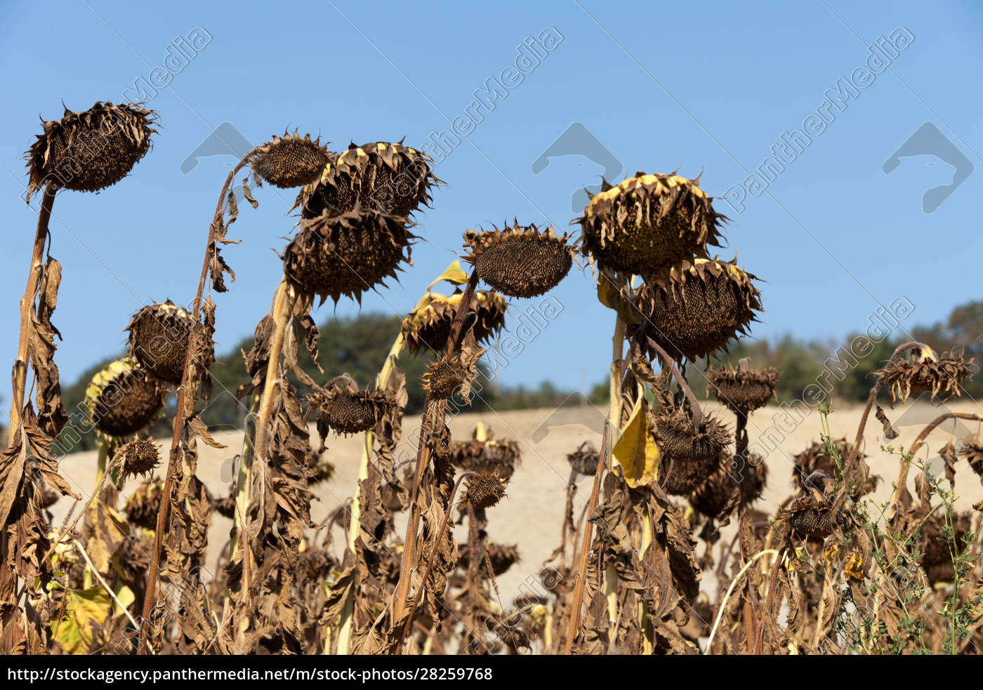 ripened, sunflowers, ready, for, harvesting, for - 28259768