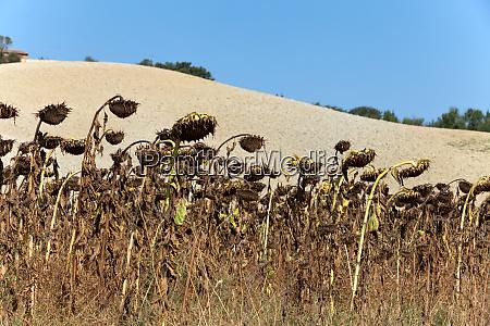 ripened, sunflowers, ready, for, harvesting, for - 28259769
