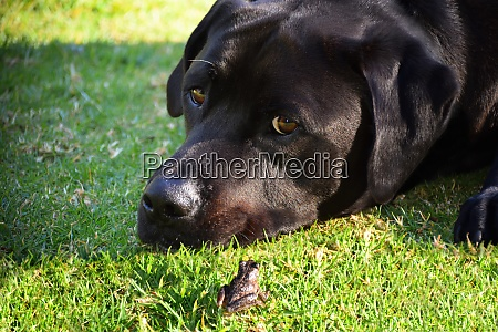 a frog and black labrador on