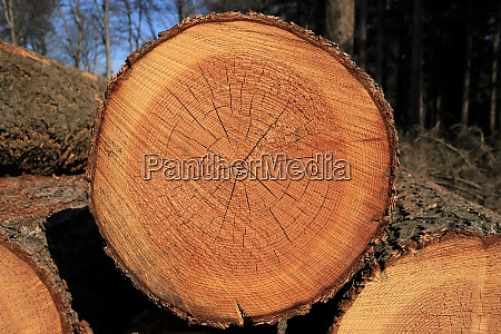 slice of a spruce with