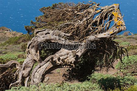 juniper juniperus turbinata canariensis twisted by