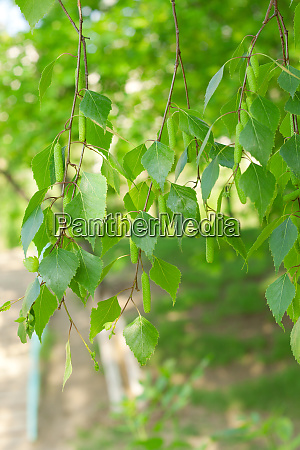 birch branches with green leave