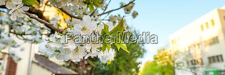 white cherry flower in spring in