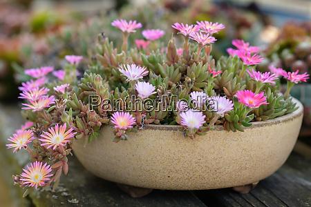 delosperma plant with purple pink flowers