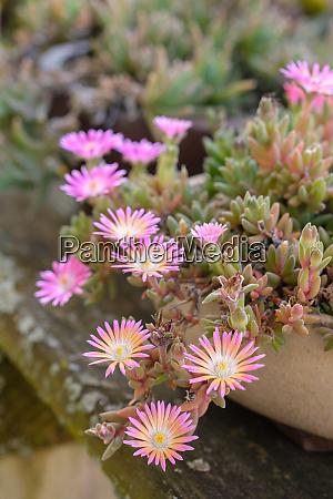 pink orange flower of succulent plant