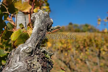 gnarled old grapevine in vineyard in