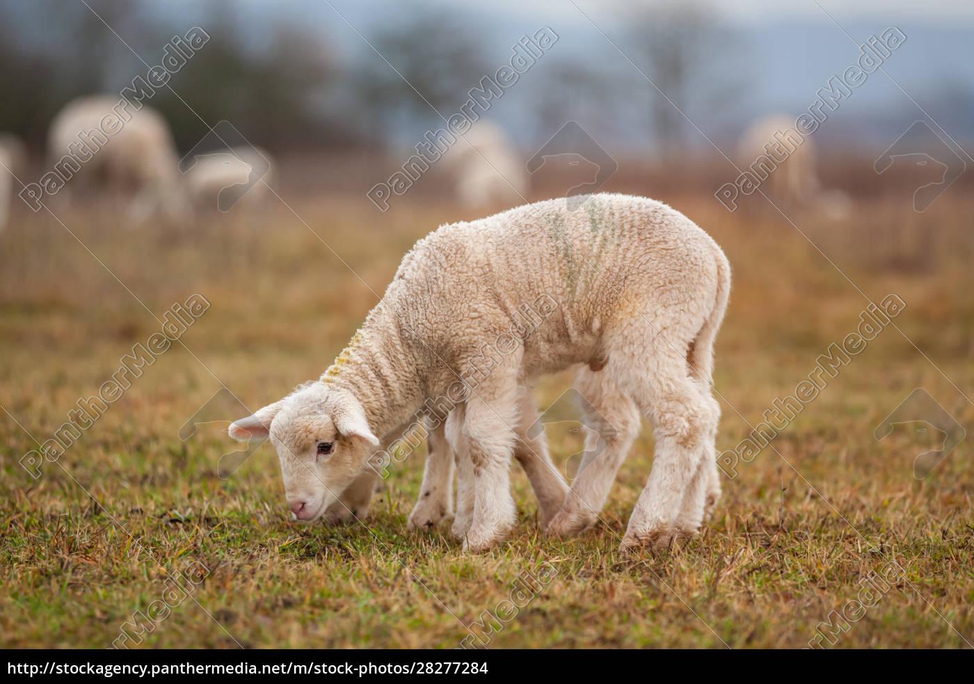 lamb - 28277284