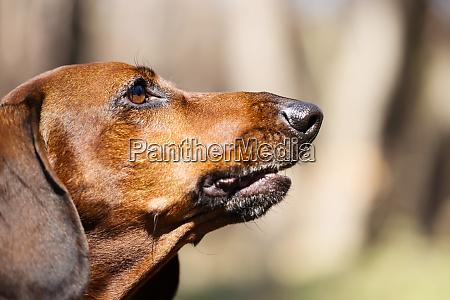 muzzle hunting dog breed dachshund