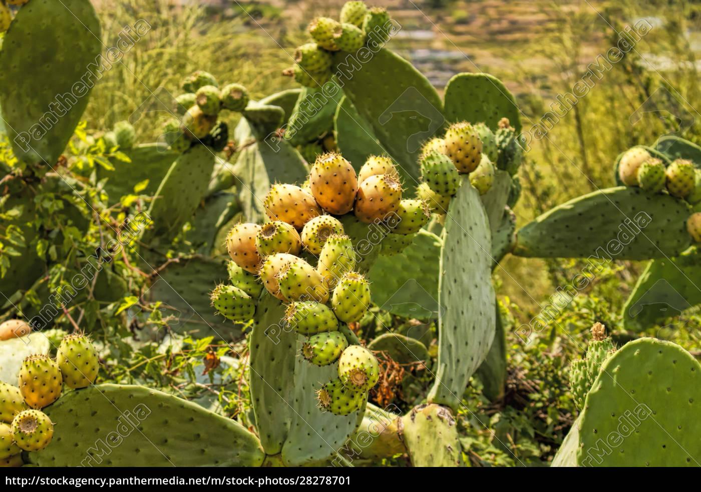 , cactus, fig - 28278701