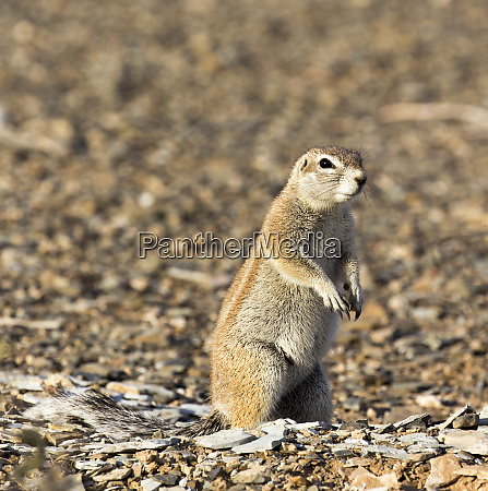a, photo, of, a, ground, squirrel - 28278042