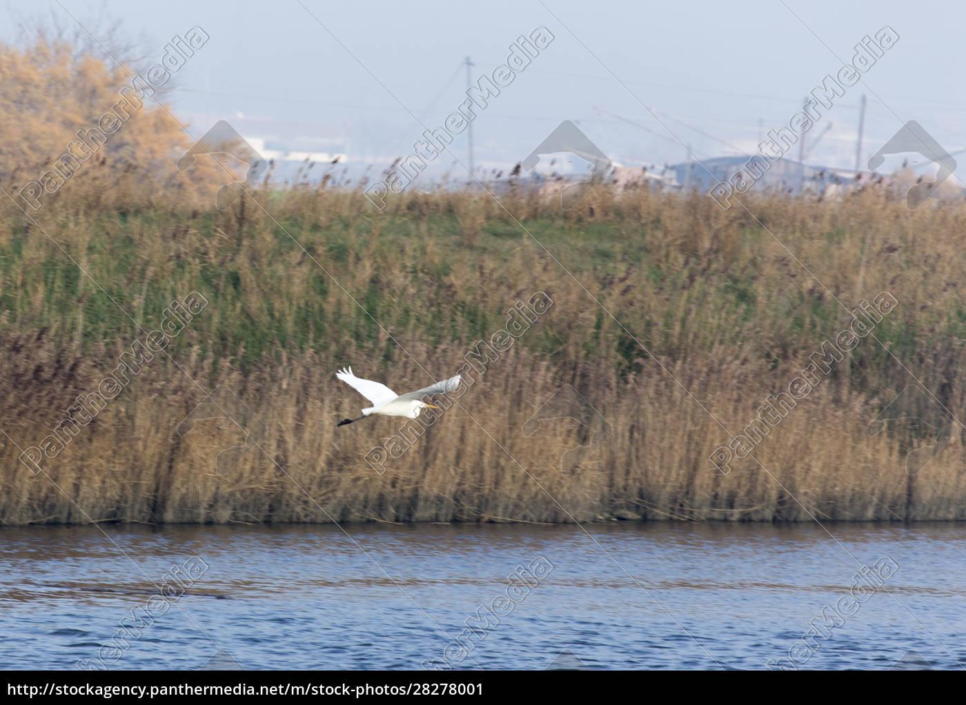 a, white, heron, bird, flying, on - 28278001