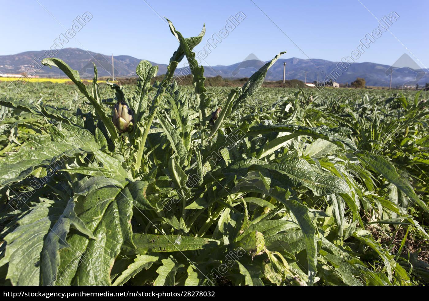 an, artichokes, field, during, winter - 28278032