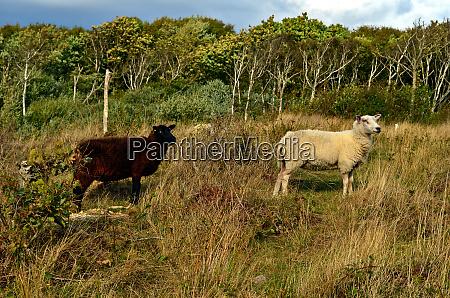 black, sheep, and, white, sheep, are - 28278694