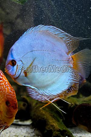 discus, fish, in, the, aquarium, , discus - 28278458
