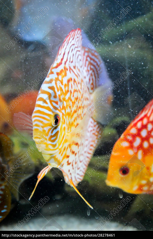 discus, fish, in, the, aquarium, , discus - 28278461