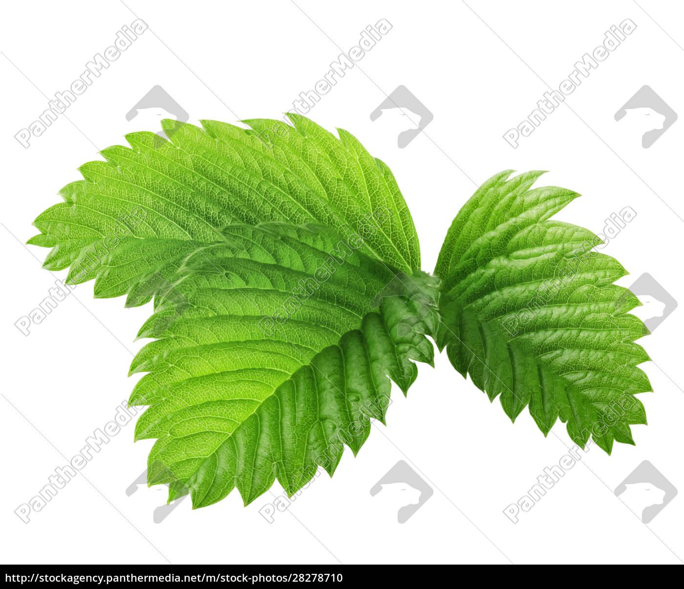 green, leaves, of, strawberries - 28278710