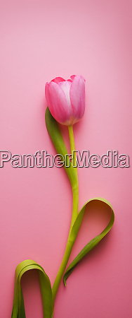 one, beautiful, pink, tulip, close-up, on - 28278561