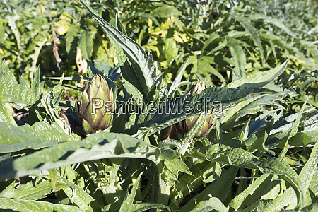 photo, of, an, artichoke, plant, during - 28278215