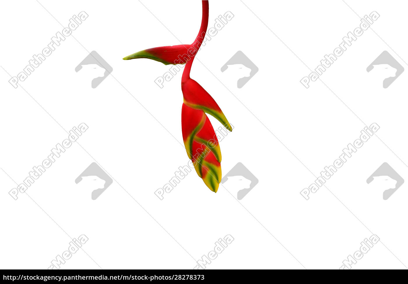 red, and, yellow, heliconia, flower, isolated - 28278373