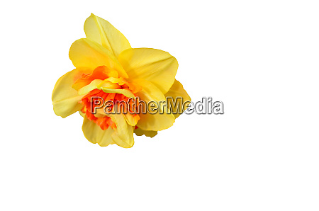 yellow, narcissus, closeup, isolated, on, white - 28278370
