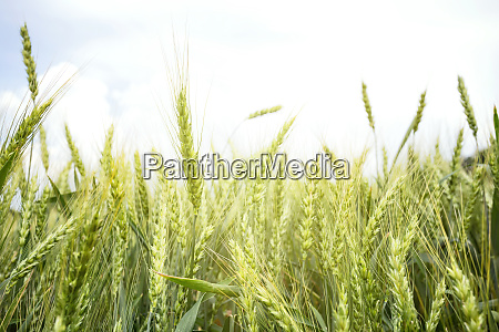 green, ears, of, wheat - 28279767