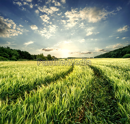 road, in, field, with, green, ears - 28279655