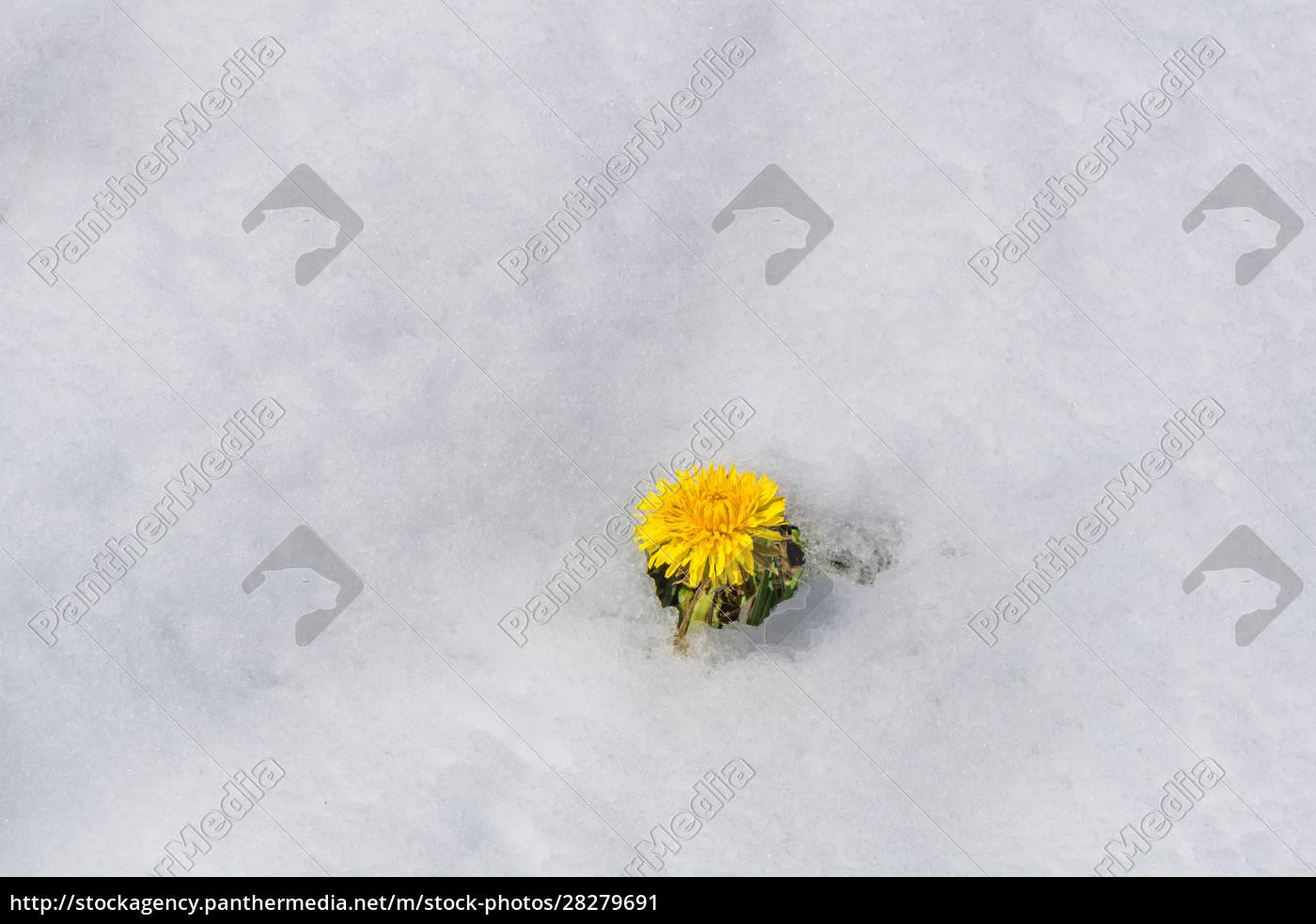 the, dandelion, blooms, despite, snow - 28279691