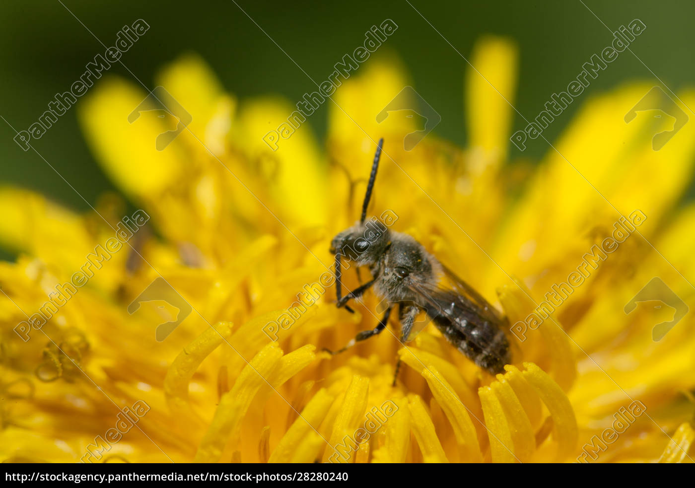 a, small, solitary, bee, in, a - 28280240