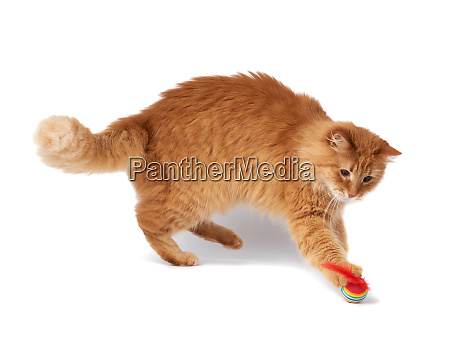 adult, fluffy, red, cat, plays, with - 28280415