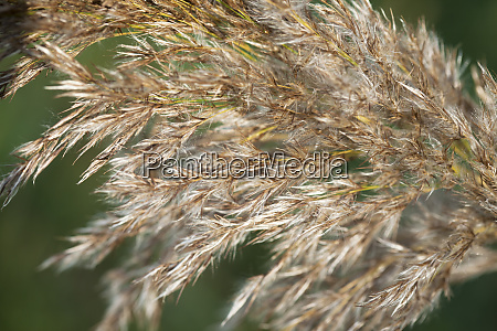 macro, closeup, single, golden, reed, grass - 28280176
