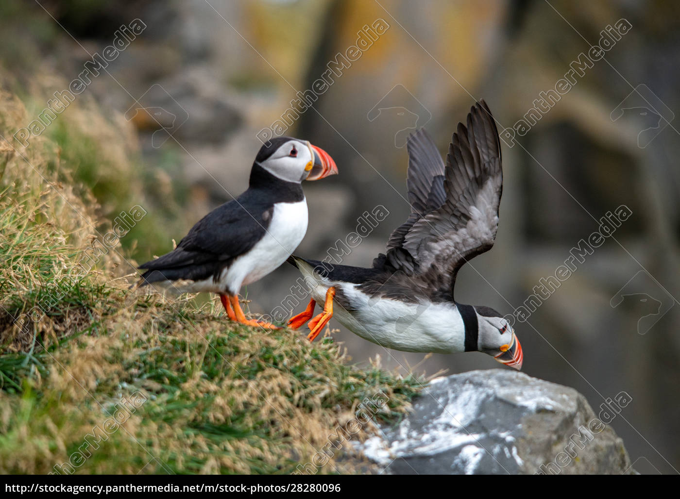 the, atlantic, puffin, , also, known, as - 28280096