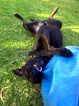 a black labrador playing with a