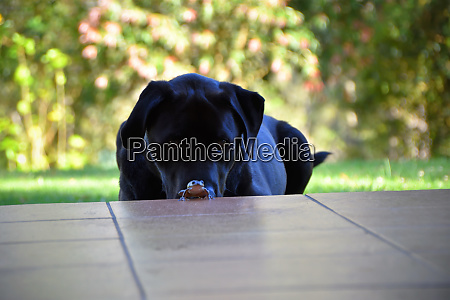 a black labrador on grass with