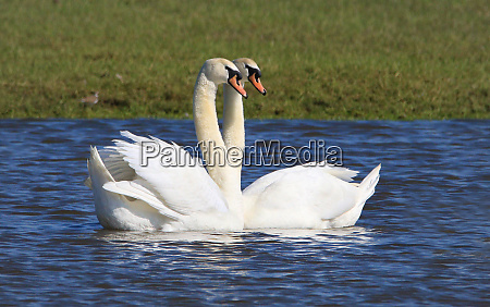 couple of mute swans in love