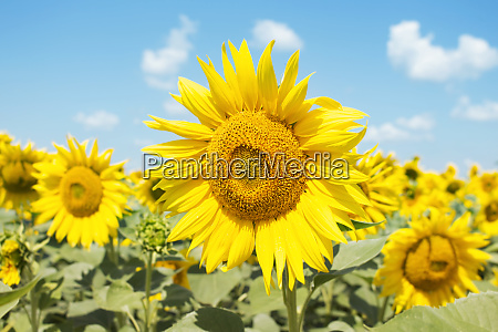 sunflower, closeup, in, the, field, with - 28283726