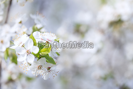 background with apple tree branch with