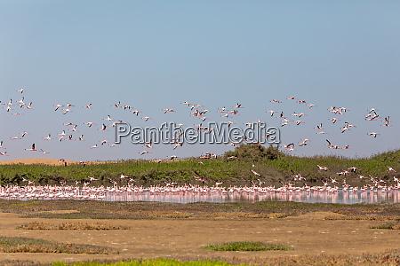 rosy flamingo colony in walvis bay