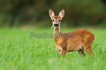 cute roe deer fawn grazing on