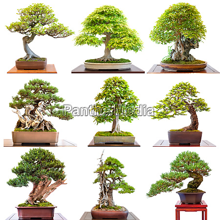 different bonsai trees conifers and deciduous