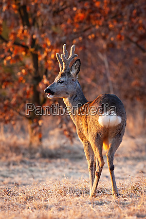 strong, roe, deer, buck, chewing, with - 28288163