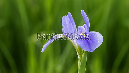 violet iris flowers iris germanica on