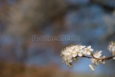 white spring blossom at a fruit