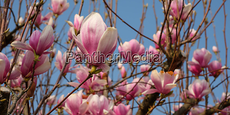 white pink mangonlia blossom