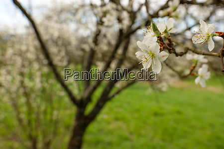 fruit tree twig with white blossom