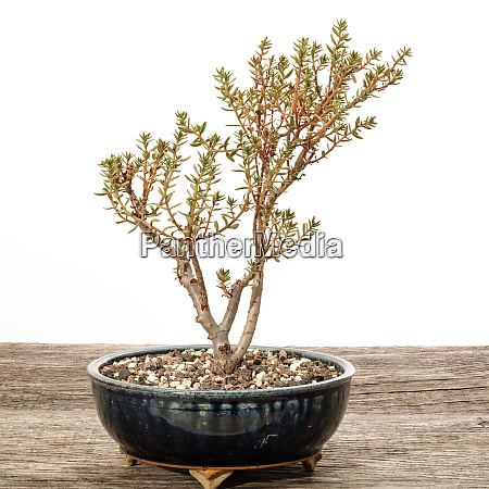 succulent plant crassula sarcocaulis bonsai tree