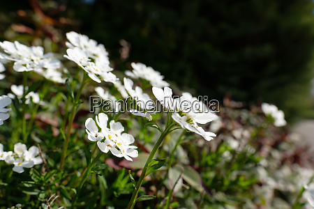 candytuft with white flowers
