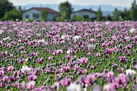 ein mohnfeld in oberoesterreich OEsterreich