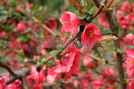 quince chaenomeles with red flower