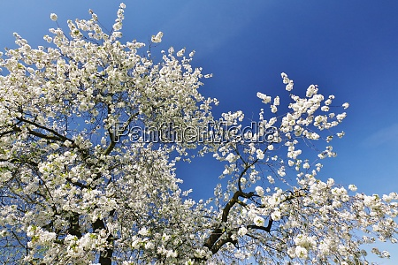 spring in bielefeld cherry blossom tree